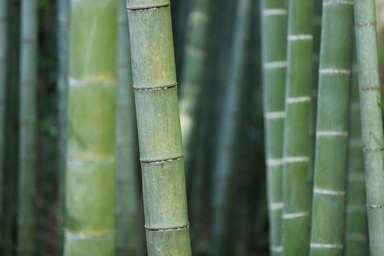 Bambus sreče